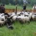 mjyszani-owiec-50