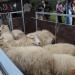 majtrowstwa-w-strziganiu-owiec-10
