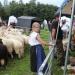 majtrowstwa-w-strziganiu-owiec-15