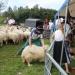 majtrowstwa-w-strziganiu-owiec-16