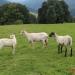 majtrowstwa-w-strziganiu-owiec-25