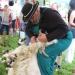 majtrowstwa-w-strziganiu-owiec-5