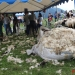 majtrowstwa-w-strziganiu-owiec-61