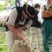 majtrowstwa-w-strziganiu-owiec-69
