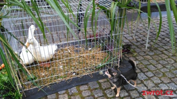 Króliki, kaczki i kury na rynku w Czeskim Cieszynie