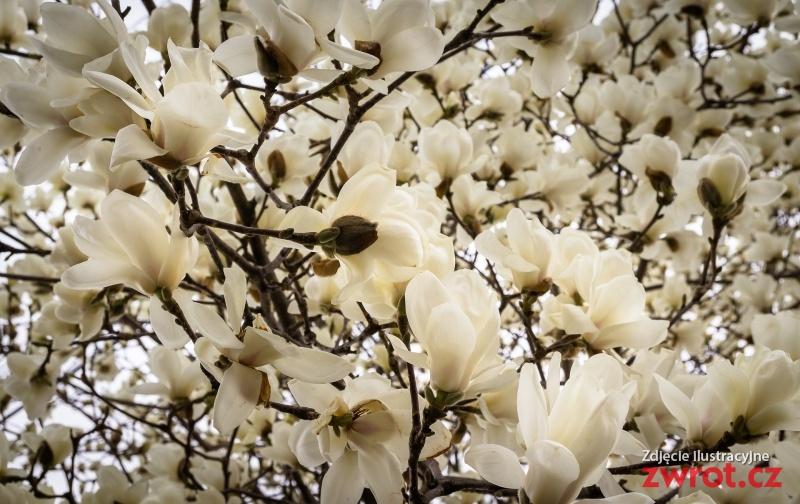 W stronę magnolii