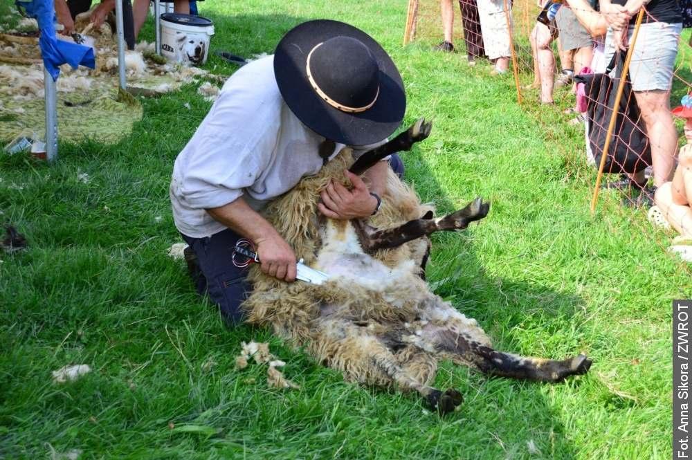 W Nydku owce mają nowe kreacje