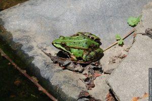 Współczesny świat żab, bez żab