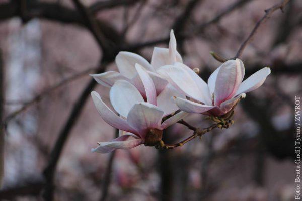 Magnolie rozkwitły