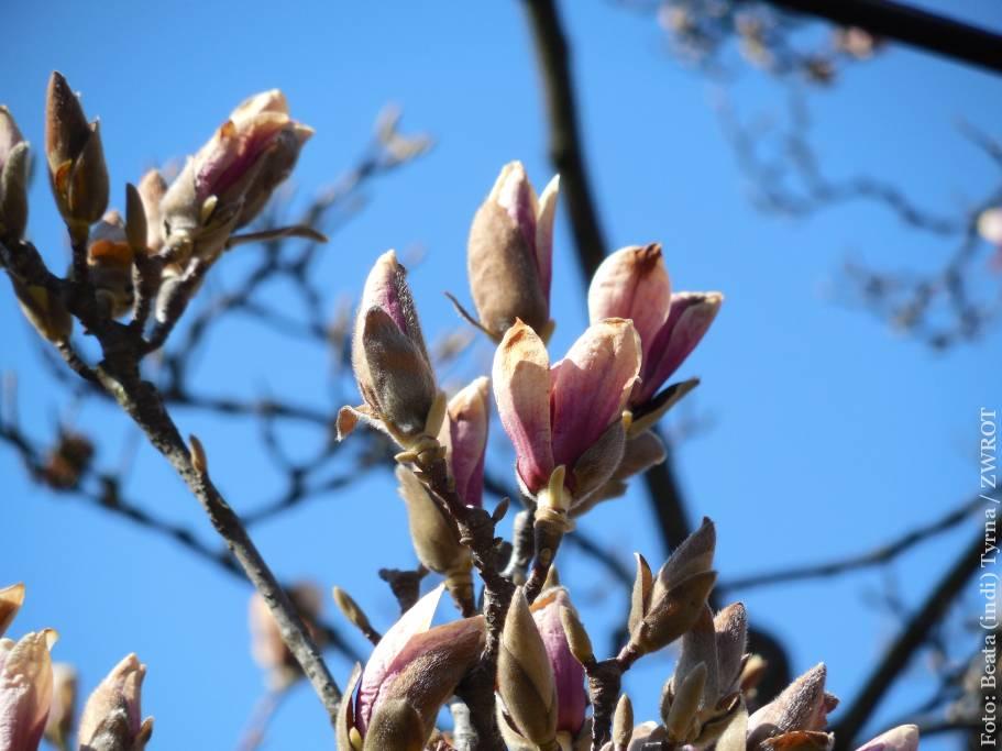 Lada dzień zakwitną magnolie