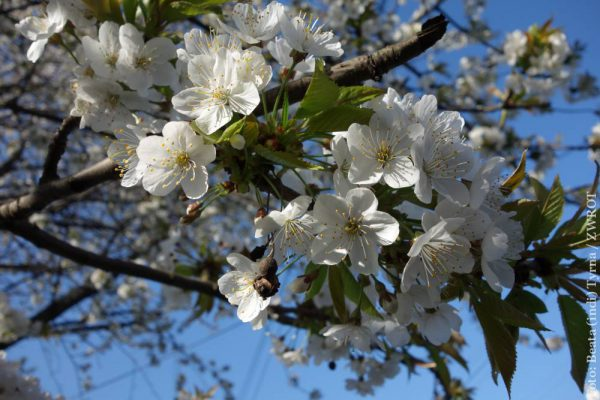 Zakwitły drzewa owocowe
