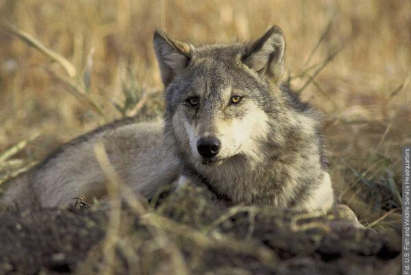 Wilki zaatakowały w Gródku