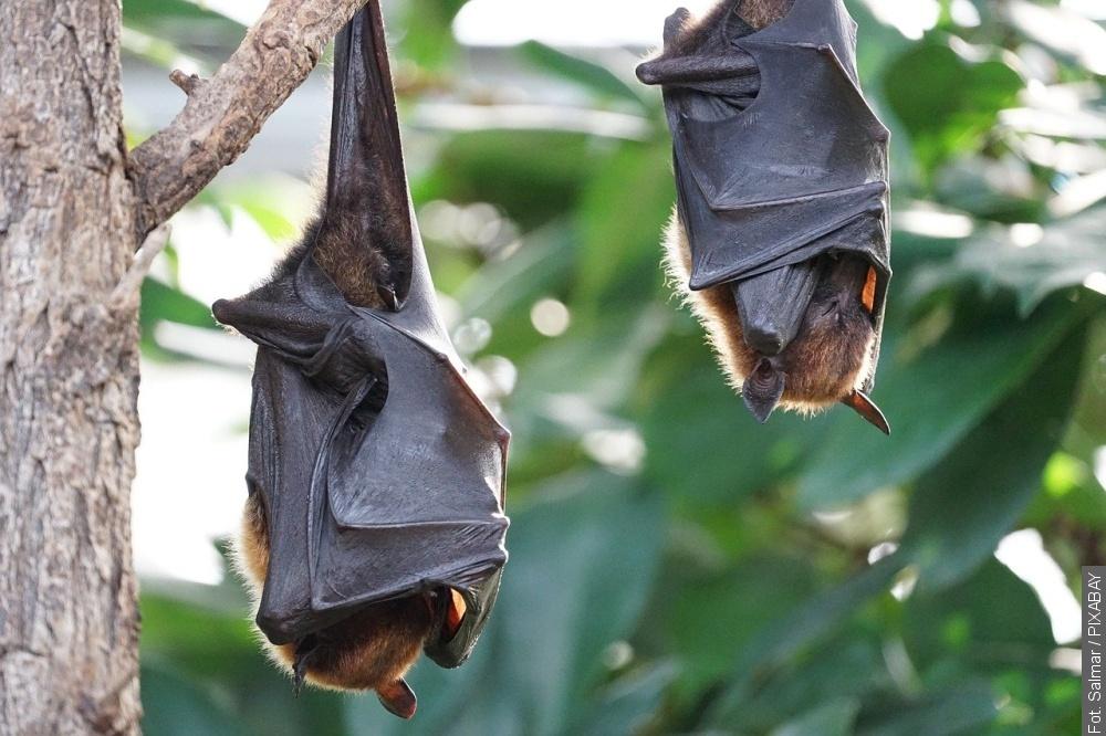 W Brennej i Górkach obserwować można nietoperze
