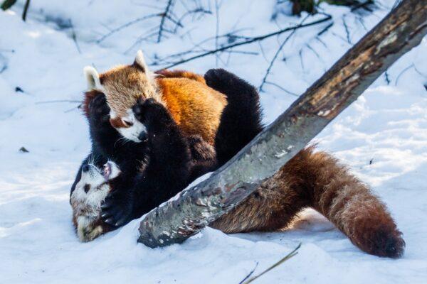 Miłość według pand małych