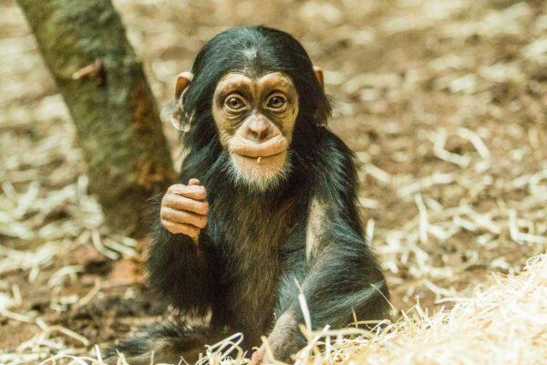 Ogród Zoologiczny w Ostrawie zarządza europejską hodowlą szympansów