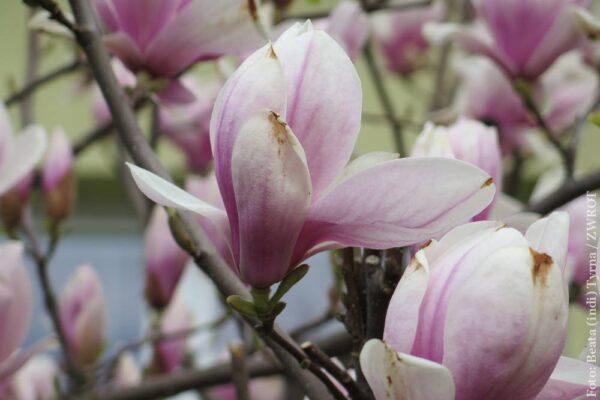 Cieszyńskie magnolie (zdjęcia)