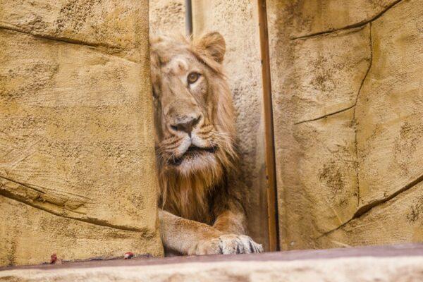 Do ogrodu zoologicznego w Ostrawie przybył młody samiec lwa azjatyckiego