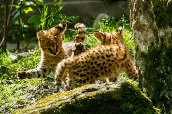 W ostrawskim zoo urodziły się bliźnięta serwala