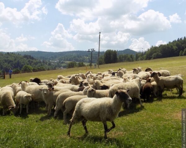 W Wiśle wyprowadzono owce na pastwisko