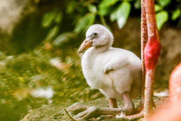 W ostrawskim zoo wykluło się już osiem flamingów