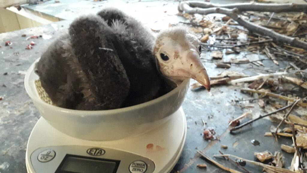 W Ostrawie udało się wyhodować krytycznie zagrożonego sępa brunatnego