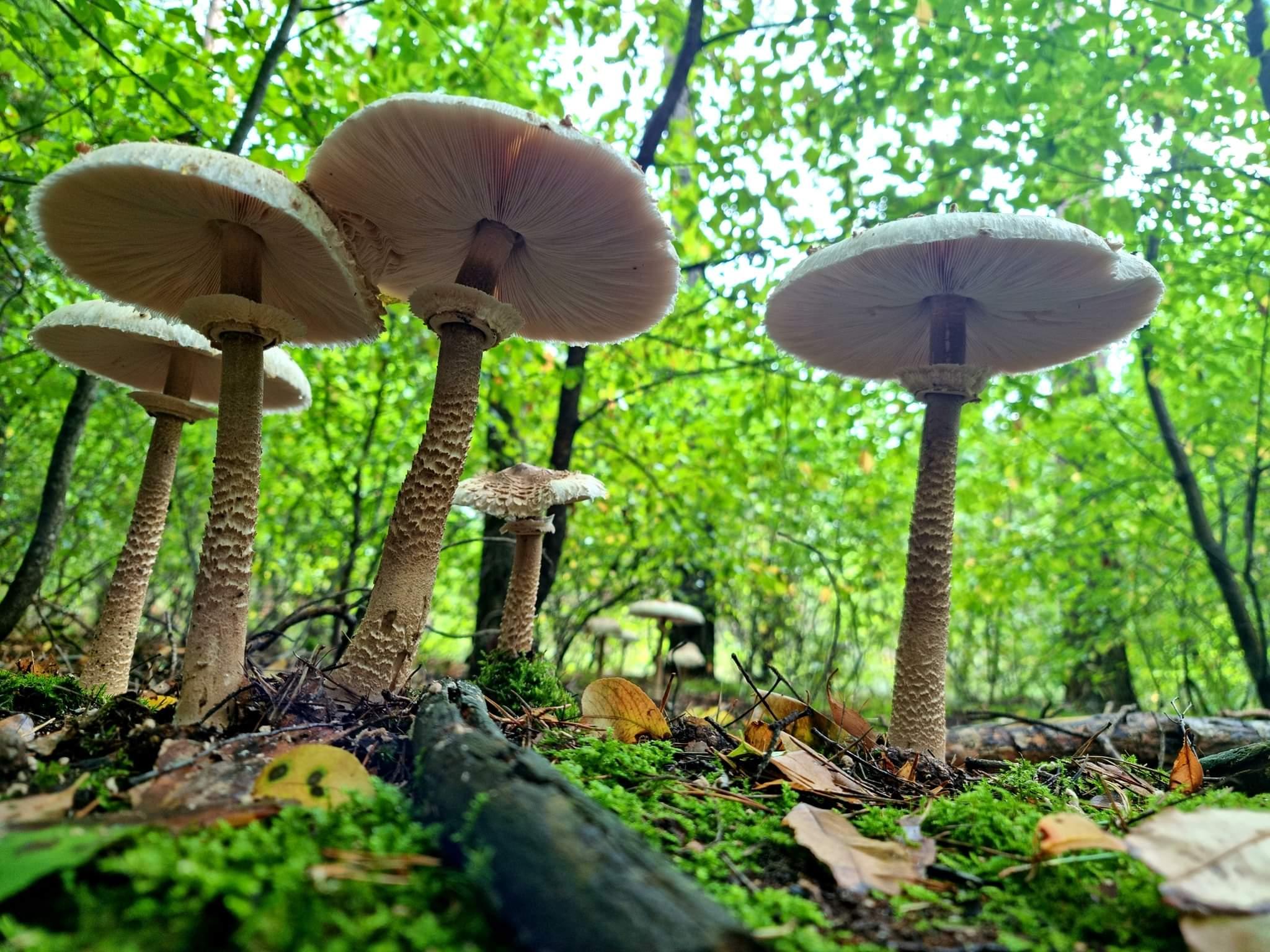 Fascynujący świat grzybów – część pierwsza, muchomory